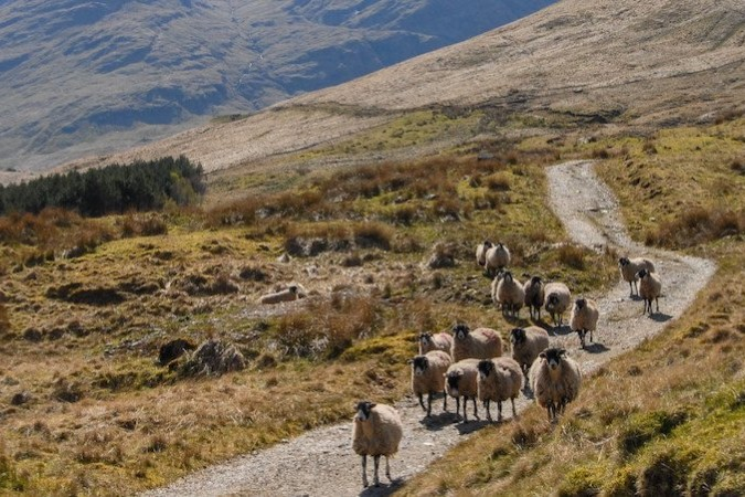Day-4-sheep-on-the-road