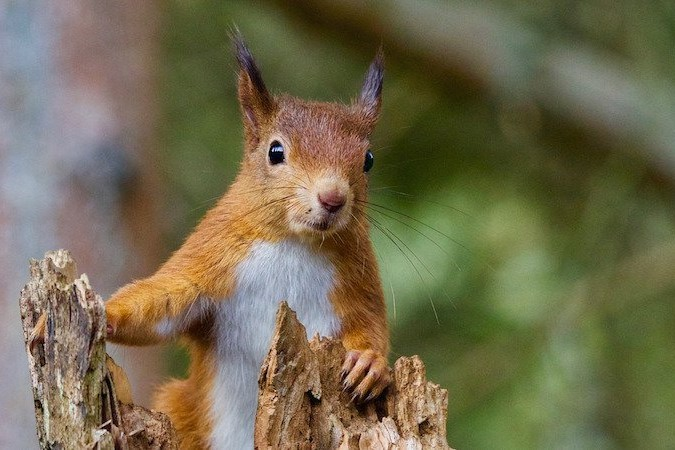 Day-5-red-squirrel